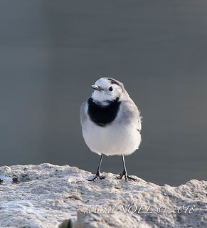 Bergeronnette grise - Motacilla alba - White Wagtail : Michel NOËL © 2018-6572.jpg | by Michel NOËL 1,3 M + views .Thanks to visits