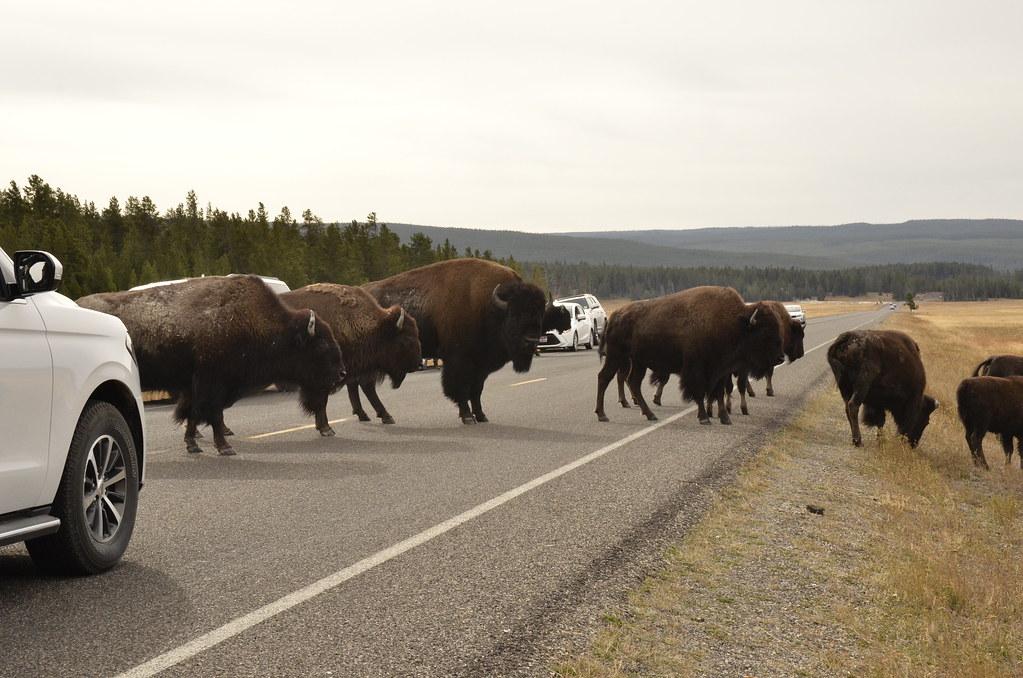 一整群正在過馬路的美洲野牛,是北美最大的陸棲哺乳動物。國家公園的管理員總是會及時開車出現在像這樣交通大阻塞的地方,必要時疏散遊客,避免發生衝突或意外。