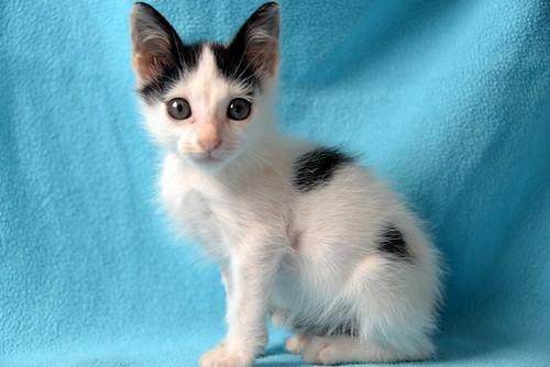 Morad, gatito blanco con toques negros muy juguetón nacido en Octubre´18, en adopción. Valencia. 45942700691_d2299690e4