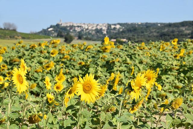 Sunflowers, La Garde-Adhemar, Drome Provencal