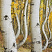 Canon EOS R, RF 24-105mm f/4L and Curved Aspen Trees of Ophir, Colorado