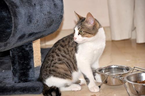 Alfred, gatito blanquipardo de ojos verdes nacido en Junio´18, en adopción. Valencia. ADOPTADO. 45030388385_64405f8883