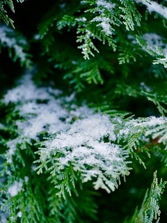 Snowflakes on an evergreen branch | by Raoul Pop
