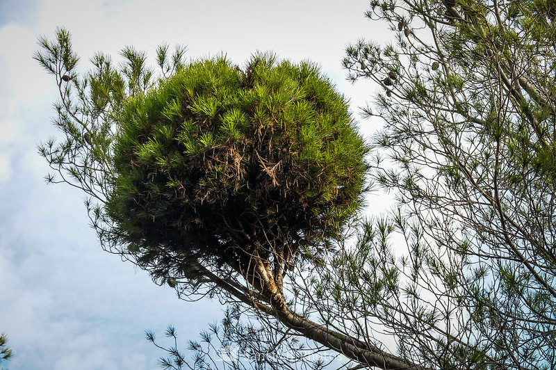Escoba de bruja en un pino del Bosc de Les Comes
