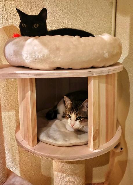 Alfred, gatito blanquipardo de ojos verdes nacido en Junio´18, en adopción. Valencia. ADOPTADO. 45800182594_8d827ed7b7_z