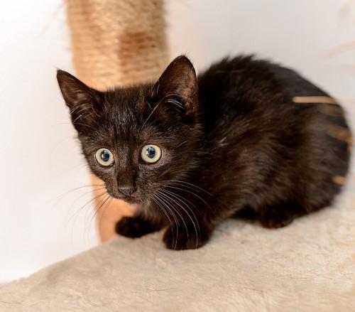 Mágica, gatita azabache muy guapa y tímida + inmunodeficiencia, nacida en Septiembre´18, en adopción. Valencia. ADOPTADA.  32348392218_44af2aef14