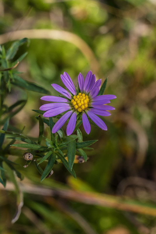 Lavender Oldfield Aster