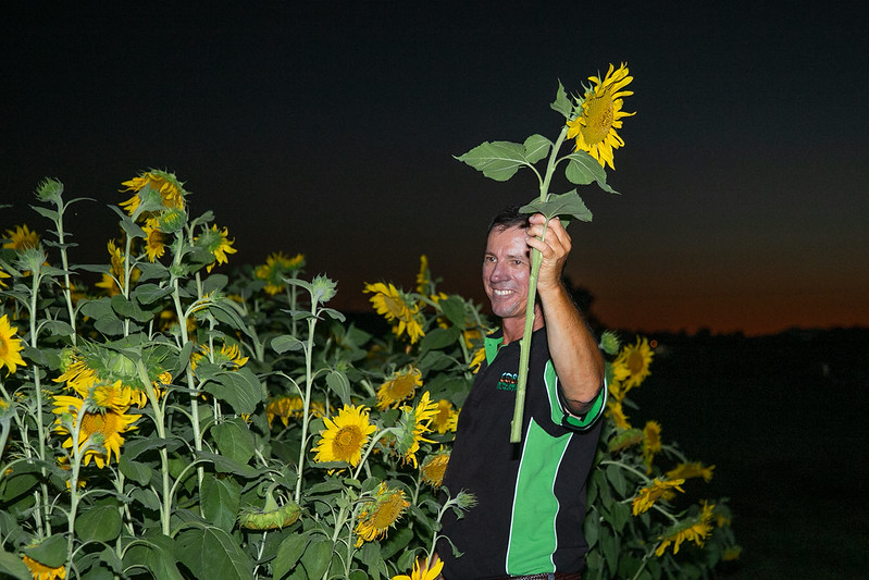 simon mattsson harvesting sunflowers