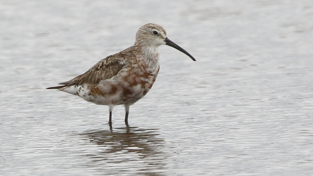 Locally common but globally endangered small shorebird of mudflats around the city. Considered critically endangered in Australia and Near Threatened globally, with intense conservation actions in place to prevent further population declines.