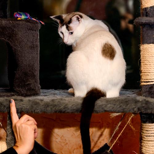 Blau, gato cruce Snowshoe nacido en enero´17 esterilizado, apto para gatos machos, en adopción. Valencia. 46157688352_119de55a3c