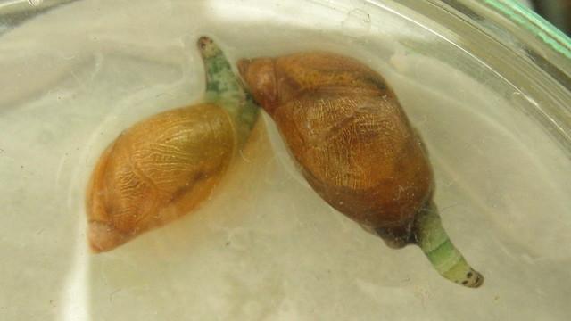 Succinea putris with Leucochloridium paradoxum