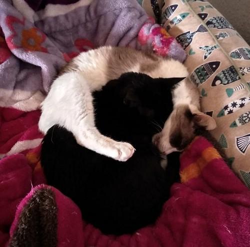 Ummi, gata Siamesa tricolor muy dulce y juguetona tímida nacida en 2013, en adopción. Valencia. ADOPTADA. 44666943120_6600340452