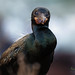 Brandt's Cormorant ♂