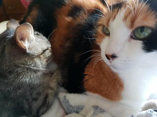 Free, gatita parda guapa y mimosa, muy buena, nacida en Julio´18, en adopción. Valencia. ADOPTADA. 31288041207_2c6559af34
