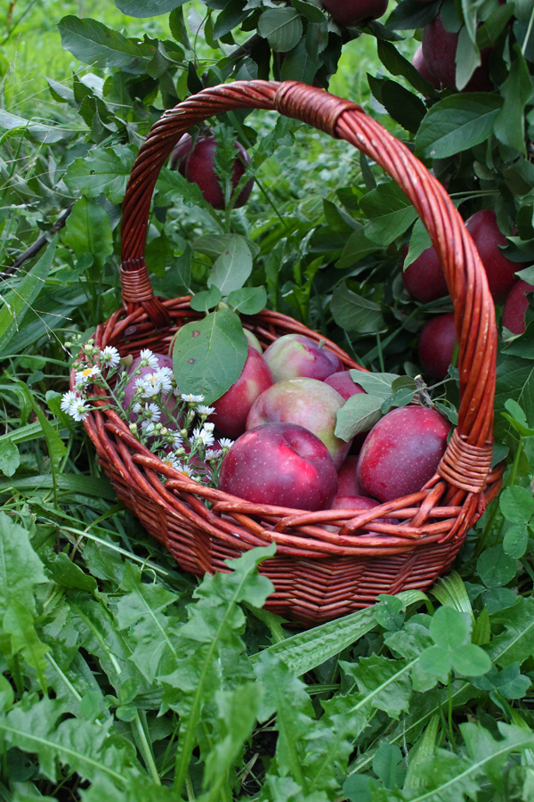 apple farm upstate ny