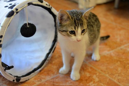 Morris, gatito blanquipardo muy guapo y activo nacido en Octubre´18, en adopción. Valencia. ADOPTADO. 44507063760_4f38578dcb