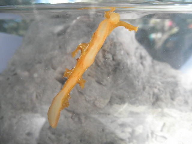 Scyllaea pelagica