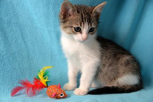 Morris, gatito blanquipardo muy guapo y activo nacido en Octubre´18, en adopción. Valencia. ADOPTADO. 45218659114_70bdf16d1a