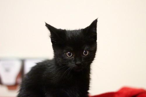 Mina, gatita azabache súper mona nacida en Septiembre´18, en adopción. Valencia. ADOPTADA. 44970855035_a9ce041a25