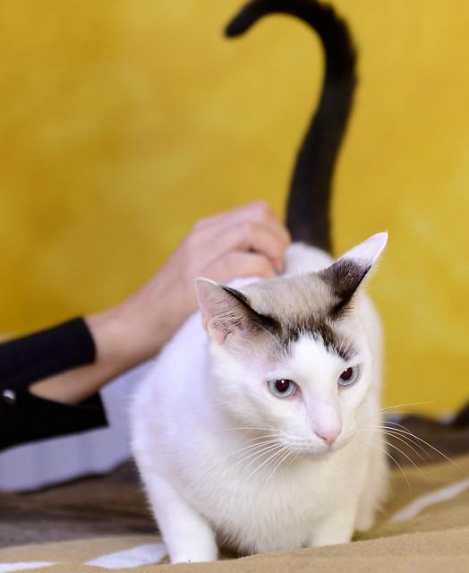 Blau, gato cruce Snowshoe nacido en enero´17 esterilizado, apto para gatos machos, en adopción. Valencia. 32336146628_b7c427582a_z