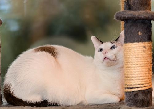 Blau, gato cruce Snowshoe nacido en enero´17 esterilizado, apto para gatos machos, en adopción. Valencia. 46157694762_c917a81b7b