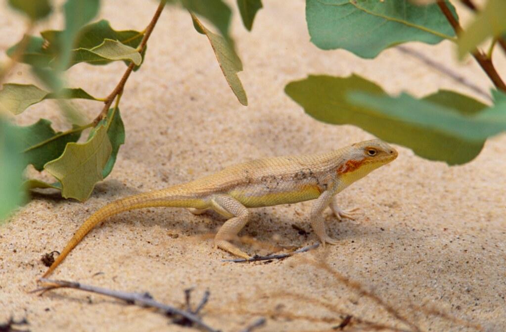沙丘強稜蜥(圖片提供:Lee Fitzgerald)