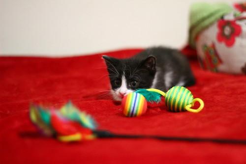 Hugo, gatito blanquinegro adorable nacido en Octubre´18, en adopción. Valencia. ADOPTADO. 45218402284_cf5dc4df65