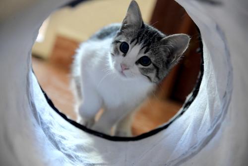 Morris, gatito blanquipardo muy guapo y activo nacido en Octubre´18, en adopción. Valencia. ADOPTADO. 45411131375_ed29292885