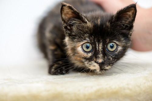 Magda, gatita carey muy mimosa y divertida nacida en Sept´18, en adopción. Valencia. ADOPTADA. 45496727784_91750d4eba