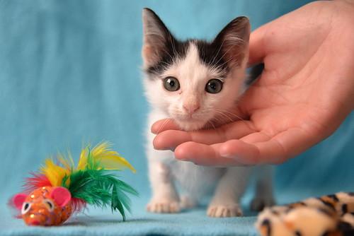 Morad, gatito blanco con toques negros muy juguetón nacido en Octubre´18, en adopción. Valencia. 45942696061_7d57040bfc