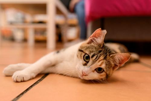 Casandra, gatita tricolor monísima y súper buena esterilizada, nacida en Mayo´18, en adopción. Valencia. ADOPTADA. 45264724695_13ac75cd91