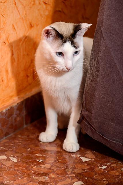 Blau, gato cruce Snowshoe nacido en enero´17 esterilizado, apto para gatos machos, en adopción. Valencia. 46157696892_539a62b9b4_z