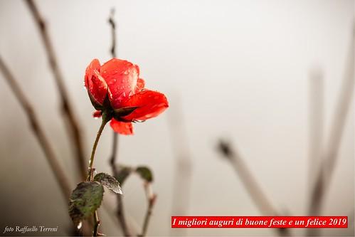 ultima rosa d'autunno in una giornata di nebbia (foto Raffaello Terreni)
