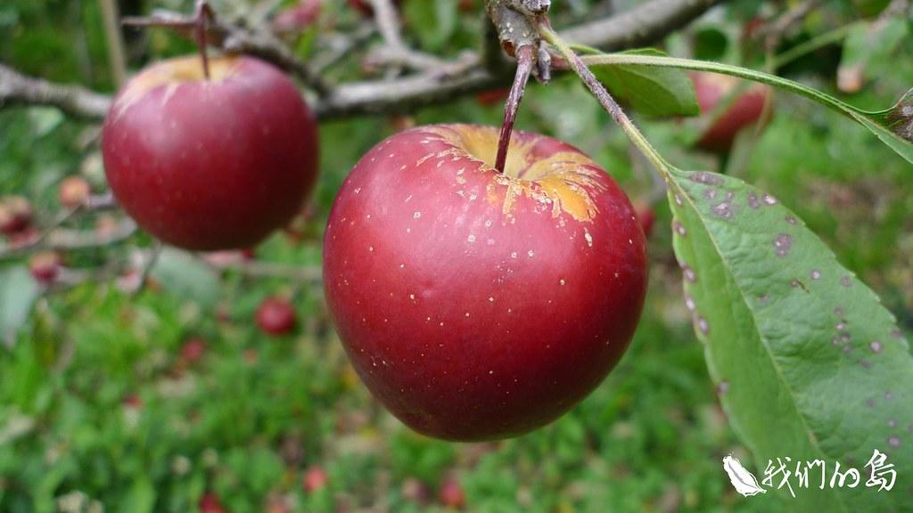 1950年代政府開發中橫,為了安置開路榮民,輔導他們上山種植溫帶果樹。