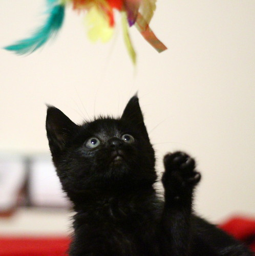 Mina, gatita azabache súper mona nacida en Septiembre´18, en adopción. Valencia. ADOPTADA. 44970851235_19bf945e62