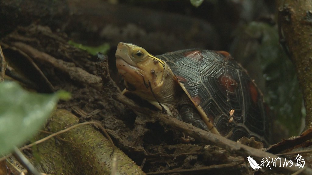瀕臨絕種的珍貴物種食蛇龜。