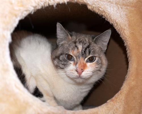 Aruba, gata cruce siamesa dulzona y muy guapa esterilizada, nacida en Agosto´17, en adopción. Valencia.  46423454842_1f113e06ee
