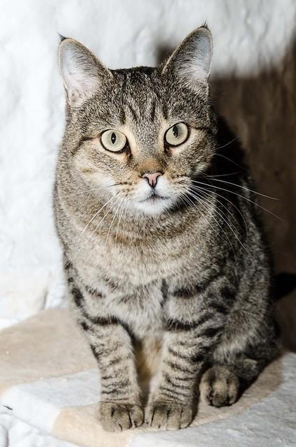 Bandit, gato pardo ojos verdes súper bueno esterilizado, nacido en Marzo´16, en adopción. Valencia. ADOPTADO. 32377523698_c820ed18e3_z