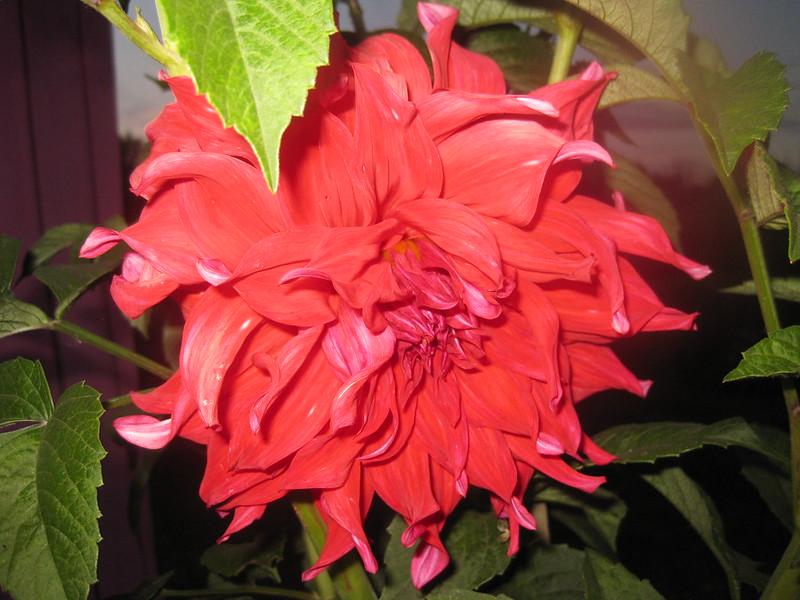 Цветок Георгина