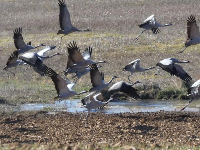 Grullas en la Laguna de Gallocanta (Tierras del Jiloca y Gallocanta)