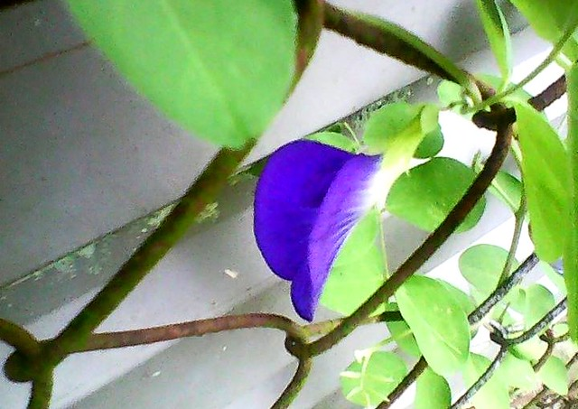 Butterfly pea flower 2nd to bloom
