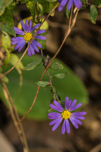 Symphyotrichum patens (Late Purple Aster) | by jimf_29605