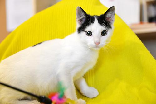 Morad, gatito blanco con toques negros muy juguetón nacido en Octubre´18, en adopción. Valencia. 45410893825_9b7ae7769c