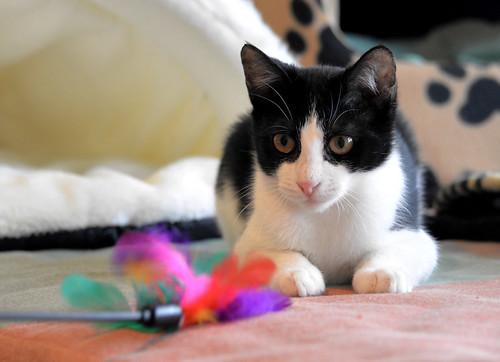 Sophie, gatita blanquinegra capuchina tímida y tierna nacida en Junio´18, en adopción. Valencia. ADOPTADA. 45893505162_1b536c8809