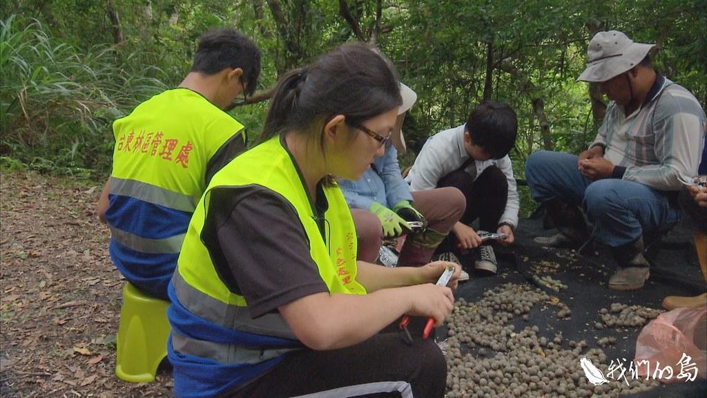 浸水營石櫟的種子離開母樹後,現場工作人員就地圍坐路邊,馬上幫種子「脫帽」。