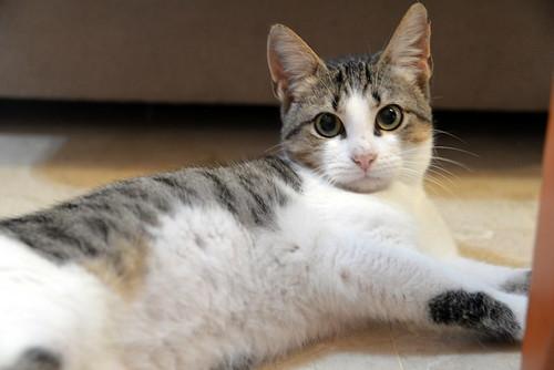 Alfred, gatito blanquipardo de ojos verdes nacido en Junio´18, en adopción. Valencia. ADOPTADO. 45942583301_1a582d9c61