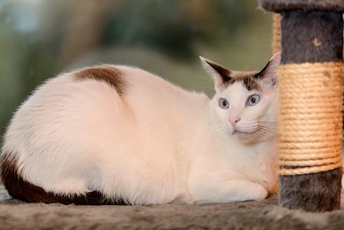 Blau, gato cruce Snowshoe nacido en enero´17 esterilizado, apto para gatos machos, en adopción. Valencia. 46157698932_6d91e8d4bf