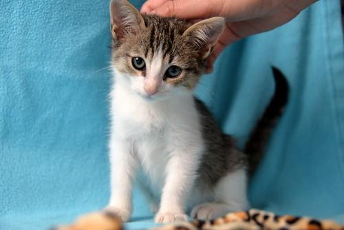 Morris, gatito blanquipardo muy guapo y activo nacido en Octubre´18, en adopción. Valencia. ADOPTADO. 44126434680_2af07d5ed4