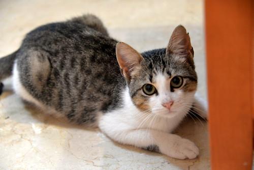 Alfred, gatito blanquipardo de ojos verdes nacido en Junio´18, en adopción. Valencia. ADOPTADO. 31003800357_09659de3a8