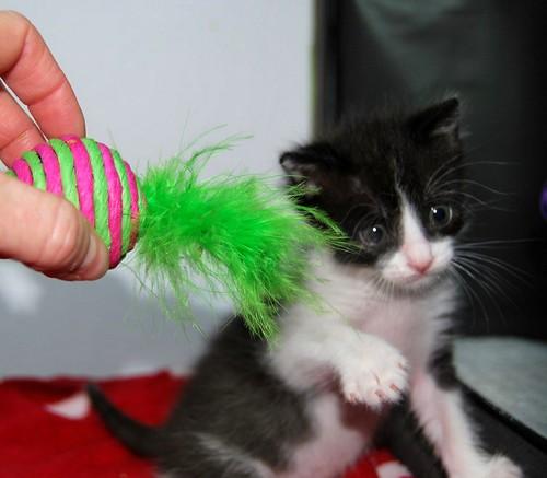 Hugo, gatito blanquinegro adorable nacido en Octubre´18, en adopción. Valencia. ADOPTADO. 45737079092_6015f769c7